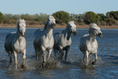 Running horses. Horses running through the marsh of the camargue in southern france stock photo