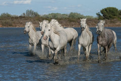 Running horses. Horses running through the marshes of the camargue in southern france royalty free stock photography
