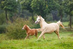 Running horses on the meadow. Foal with her mother are running along the meadow in summer Stock Image