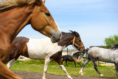 Running horses in meadow. Stock Image