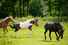Running horses in meadow. Stock Photos
