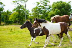 Running horses in meadow. Royalty Free Stock Photos