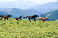 Running horses. The horses are running in mountain meadow royalty free stock image