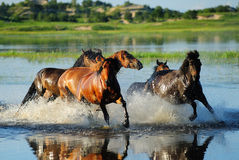 The running horses Royalty Free Stock Image