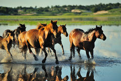 The running horses Stock Photography