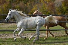 Running horses. Stock Photo
