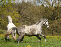 Running horses Royalty Free Stock Photos