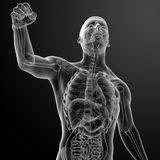 Running human anatomy by X-rays Stock Images