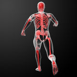 Running human anatomy by X-rays in red Stock Images