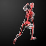 Running human anatomy by X-rays in red Stock Image
