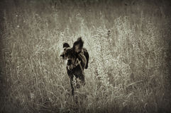 A running hunting dog in sepia Stock Photo