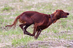Running hunting dog. Hunting dog setter running on the meadow in spring Stock Photo