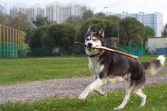 Running husky in the city Stock Images