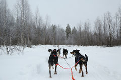 Running husky dog sledge in Finnish Lapland Royalty Free Stock Photo