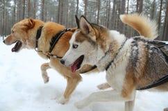 Running husky dog sledge Royalty Free Stock Image