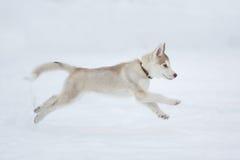 Running husky puppy Stock Image