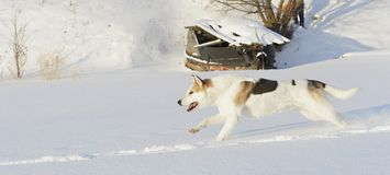Running Husky Royalty Free Stock Photo