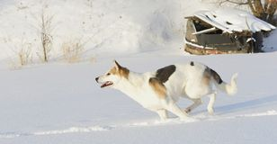 Running Husky Stock Image