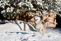 Running husky at snowy winter Stock Photo