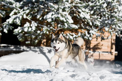Running husky at snowy winter Royalty Free Stock Image