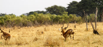 Running Impala. Impala running fast away from predators on the African plains Stock Photography