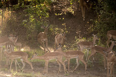 Running Impalas Royalty Free Stock Photo