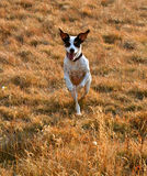 Running Jack. Jack Russel Terrier appears to be running on two legs Stock Photography
