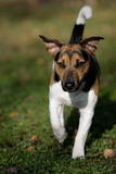 Running Jack Russel Terrier Stock Images