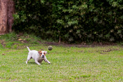Running Jack Russell Terrier For Thrown Ball Aport Royalty Free Stock Photo