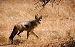 Running jackal Royalty Free Stock Image