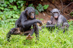 Running juvenile Bonobo Royalty Free Stock Photos