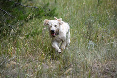 Running Labradoodle poppy Royalty Free Stock Photos