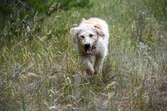 Running Labradoodle poppy Stock Image