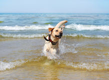 Running labrador Stock Image