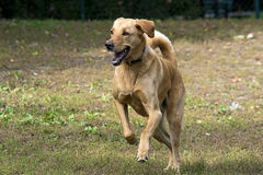 Running labrador dog Stock Photo