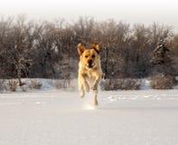 Running labrador. Golden labrador running on the frozen river Stock Image