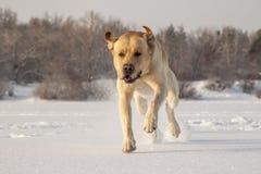 Running labrador. Golden labrador running on the frozen river Royalty Free Stock Photo