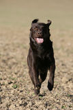 Running Labrador retriever dog Stock Photography