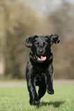 Running Labrador retriever dog Royalty Free Stock Image