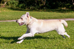 Running labrador retriever Stock Image
