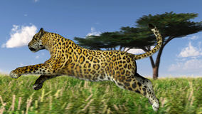 Running leopard Stock Photo