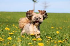 Running lhasa apso in the park royalty free stock photography