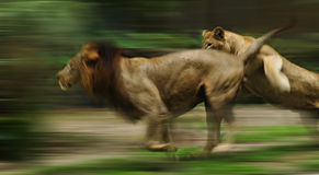Running lion. The slow motion of the running lions in forest Royalty Free Stock Photography