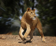 Running lion Stock Image