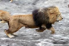Running lion. Running hunting lion, with motion blurr Stock Photos