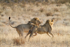 Running lions Stock Photos