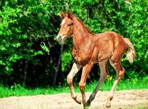 Running little chestnut foal Stock Photography
