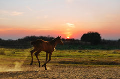 Running little foal Royalty Free Stock Photos