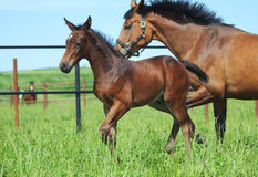 Running Little foal and his mother in paddock Royalty Free Stock Photo
