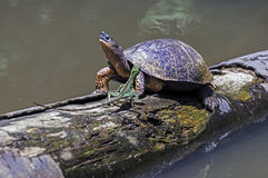 Running Lizard and River Turtle at Tortuguero - Costa Rica. A River Turtle met a running lizard on a log in natural rainforest canal at Tortuguero National Park stock photos
